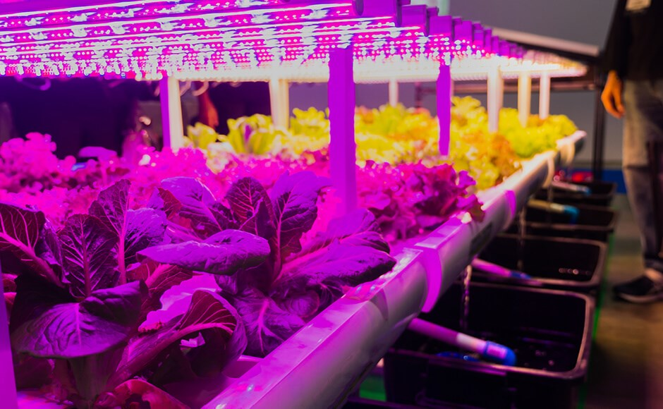 Hydroponic lettuce growing indoors under LED grow lights