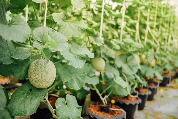 Delectable Delights: Growing Hydroponic Melons & Eggplants