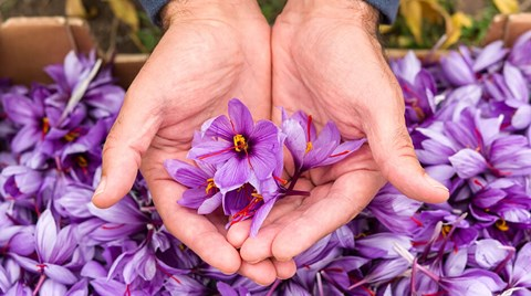 It turns out Saffron, the world's highest-priced spice, can thrive in a hydroponic system.