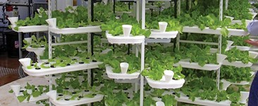 High density lettuce grown in a multi level hydroponic system.