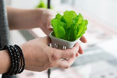 Hands holding a small lettuce plant in a cup above a hydroponic system.