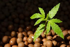 Cannabis seedling growing hydroponically in expanded clay pebbles.