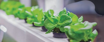 Lettuce growing in a hydroponic system surrounded by ozone.