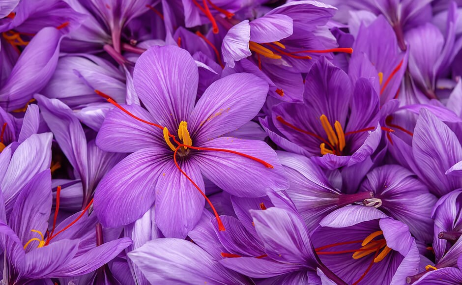 Close up image of saffron flowers.