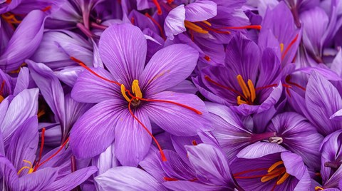 Saffron is not difficult to grow indoors and saffron bulbs are readily obtainable at the right time of year for those who want to grow some...