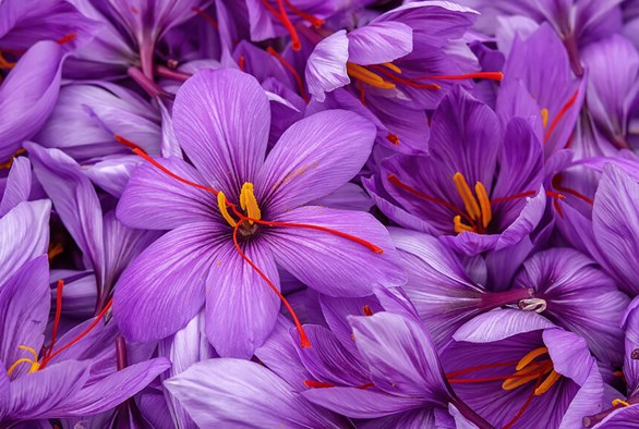 Strands of Gold: Grow Your Own Saffron