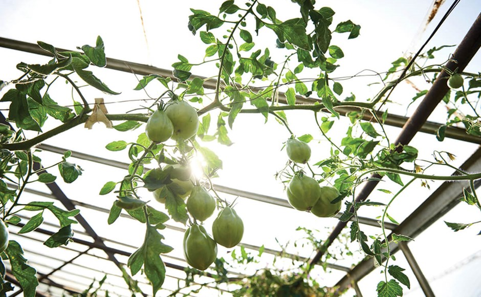 Photo of tomatoes growing inside a greenhouse.