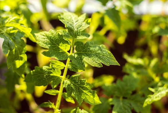 Harpin Proteins: Enhancing your Plant's Natural Defense Systems