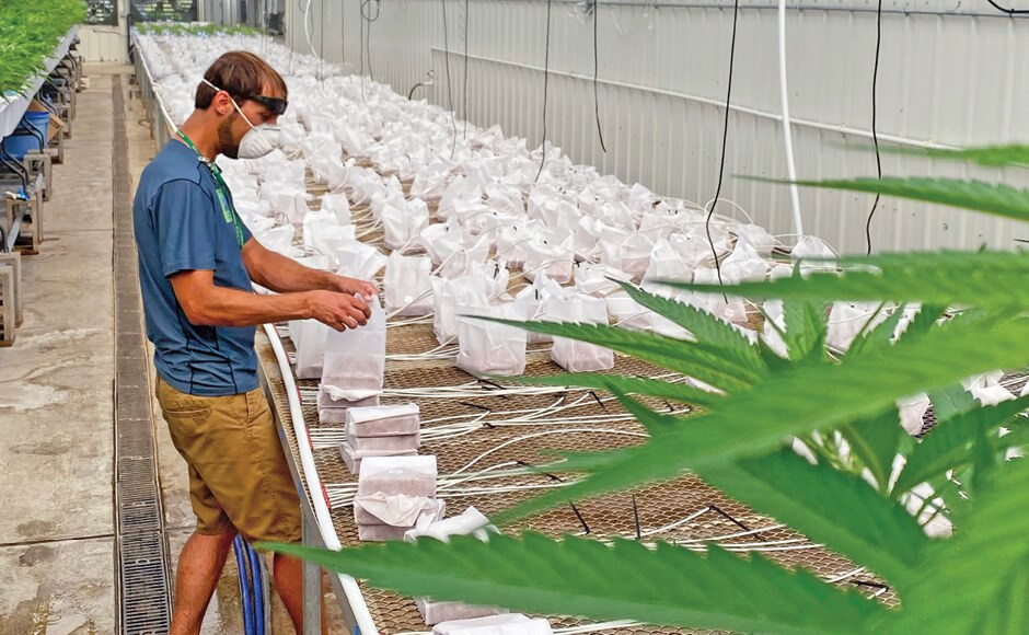 Grower inside a cannabis grow facility
