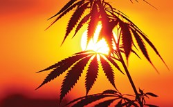 Hemp too Hot in the Arizona Desert