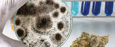 Petri dish of mold next to dried cannabis.