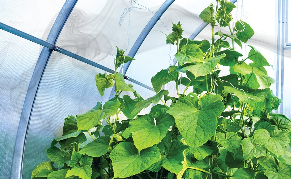Cucumber plants in a greenhouse surrounded by CO2