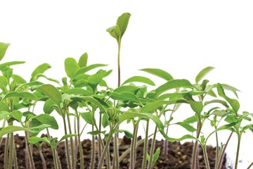 Leggy Seedlings: Too Much Leg Can Be A Bad Thing