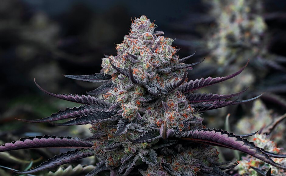 5 Flowering Stage Tips for Cannabis