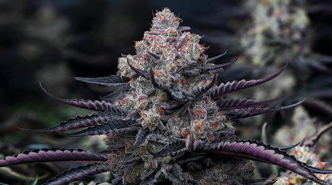 The vegetative stage is complete and your plants are ready to flower. What you do now could result in large, flavorful, and aromatic buds...