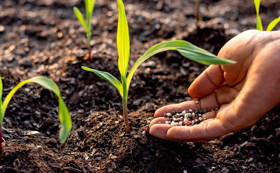 Manure fertilizer in hand pouring on the soil to grow seedlings of corn
