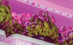 Photo of an LED grow light above hydroponic lettuce plants.