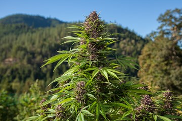 BC Bud: From Guerilla Gardens to Potent Strains