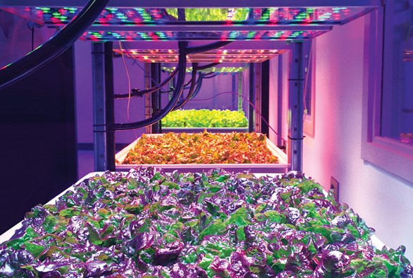 Researching the Impact of LED Lighting on Leafy Greens