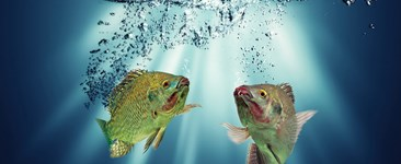 Photo of aquaponic fish under water.