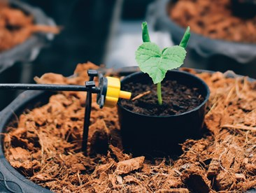 Young cucumber plant in a hydroponic drip irrigation system.