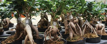 Growing Niche-Market Hydroponic Crops: Ginseng, Bay, and Tarragon