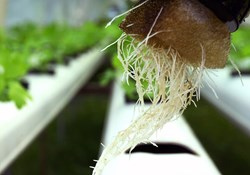 Roots of a hydroponic lettuce plant.