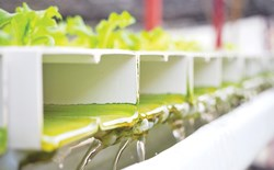 If I grow hot peppers and tomatoes in my growroom, should the nutrient water be separate systems? I don't want spicy tomatoes