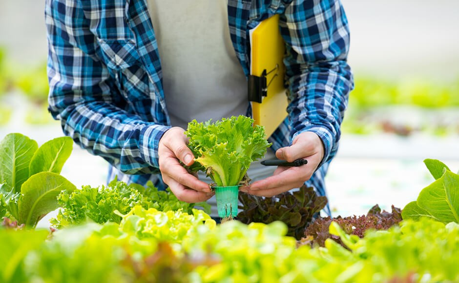 Hydroponic farmer tending to lettuce