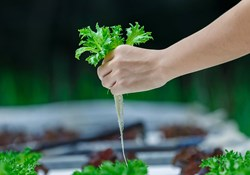 Organic Hydroponics: Taking Soil Out of the Mix