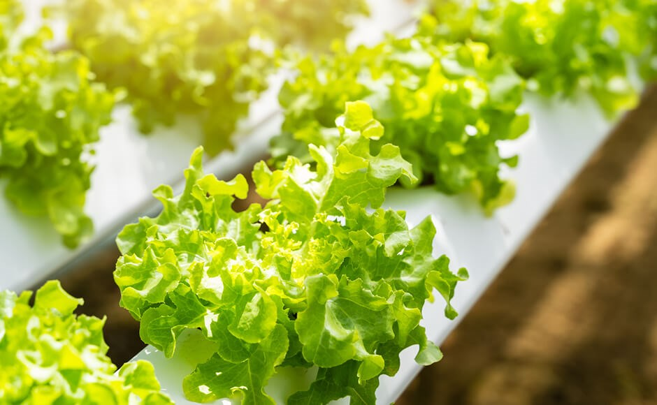 Leaf lettuce growing in an outdoor hydroponic system
