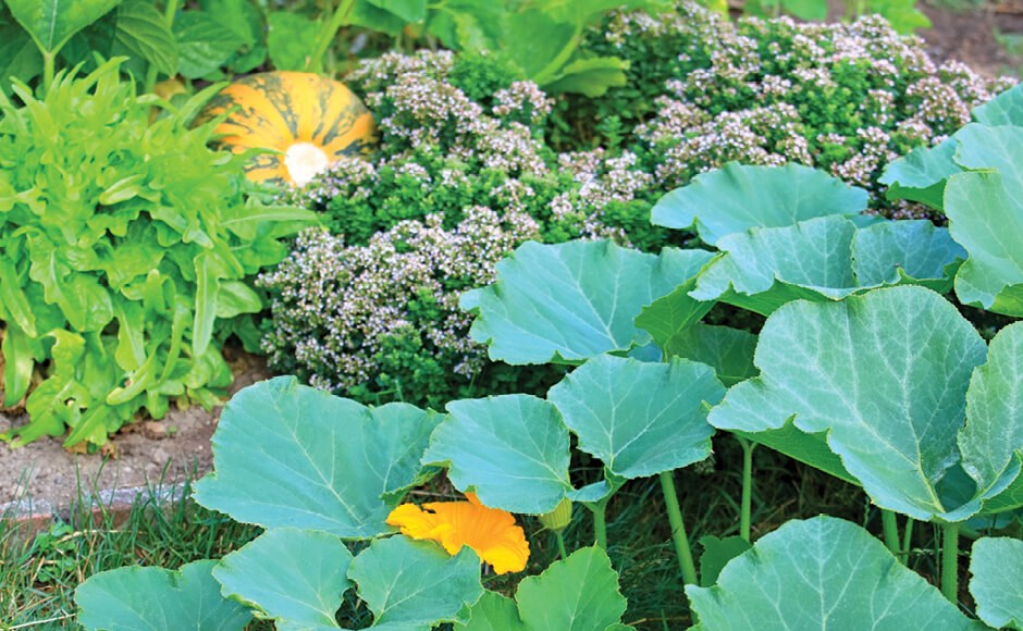 Photograph of squash and other plants growing in an outdoor garden bed.
