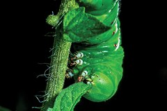 Dealing with Hornworms in the Garden