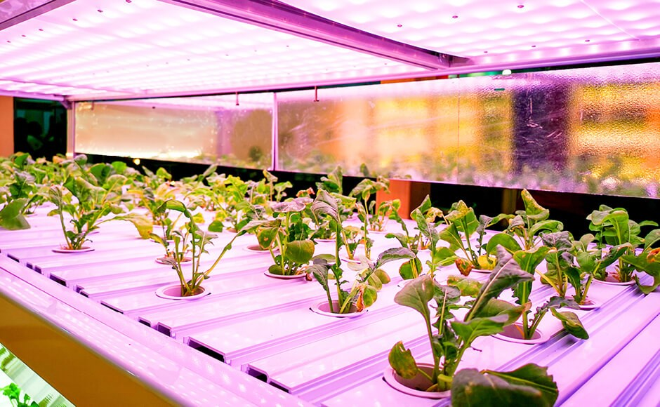 Hydroponic lettuce growing under LED grow lights.