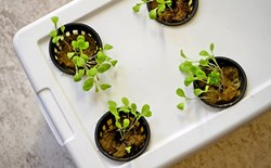 Kratky method growing using plastic container and net pots