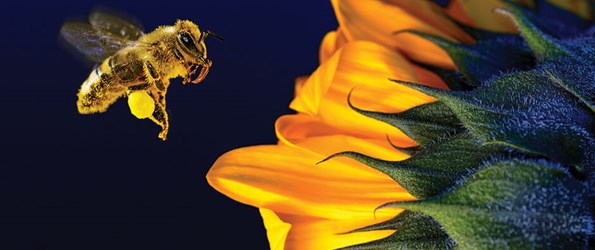 Close-up of a bee about to land on a sunflower.