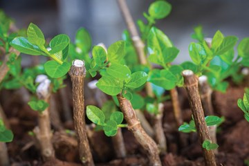 A Smarter Way to Select, Store and Process Stem Cuttings