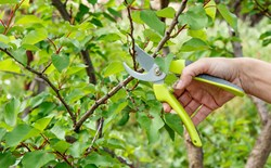 Hand holding trimmers about to trim a branch from a tree.
