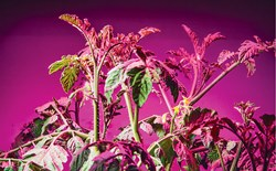 The Trouble with Growing Tomatoes Indoors Using LEDs