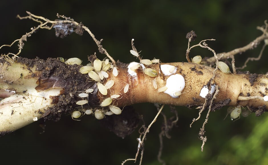 Population of root aphids
