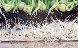 Root structure of pea shoots