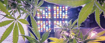 Looking up at LED grow lighting from inside a cannabis canopy.