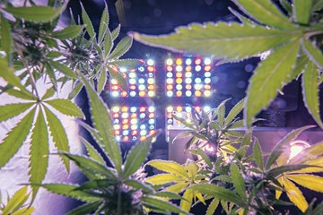 The Influence of Spectral Light Quality on Cannabis Plant Growth