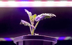 Small sprout under LED light