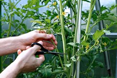 Hands taking a cutting from a tomato plant inside a greenhouse.