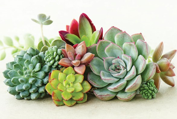 Secrets for Successful Succulents
