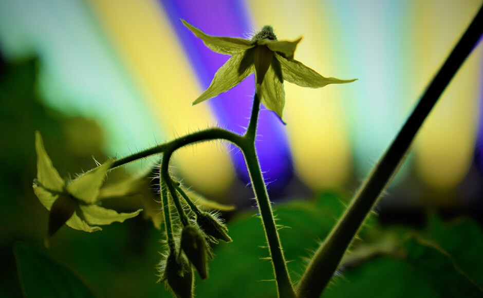 Tomato plant growing under t5 fluorescent grow room lights.