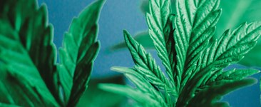 Close up photo of cannabis leaves.
