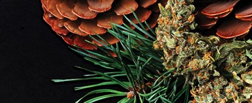 Cannabis flower with pine needles and cones.