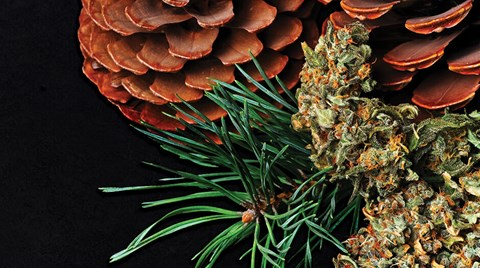 Customize your cannabis experience by choosing strains containing the terpenes that best suit us individually.